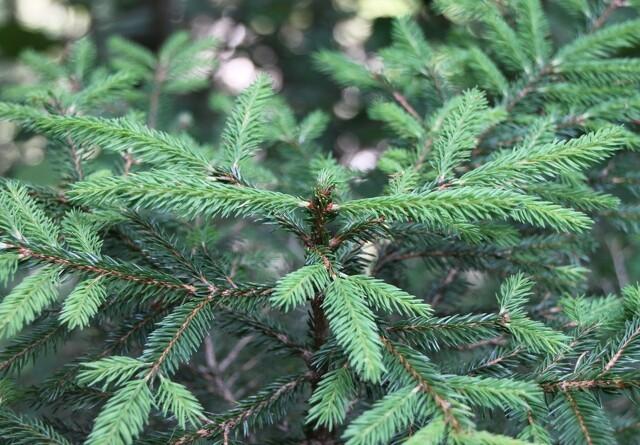 Uvejr ødelægger juletræer for en million