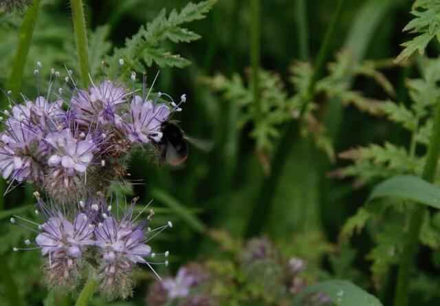 ØL: Hjælp de vilde bier med vandhuller og højt græs