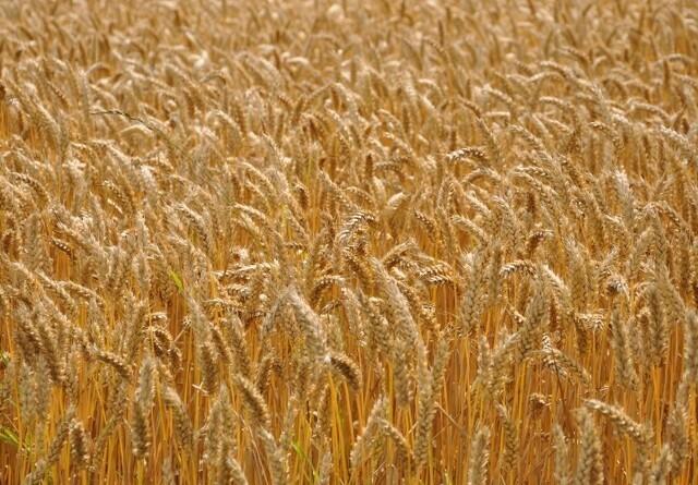 Jyske Markets: Russisk hvede igen inde i varmen