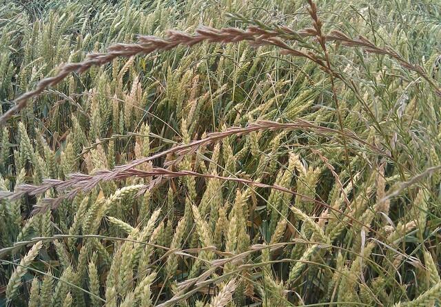 Problemet med græsukrudt er langt fra forsvundet