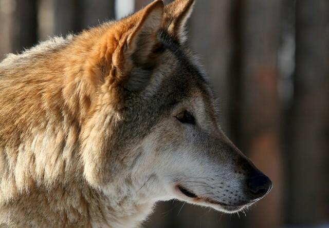Endnu en ny ulv