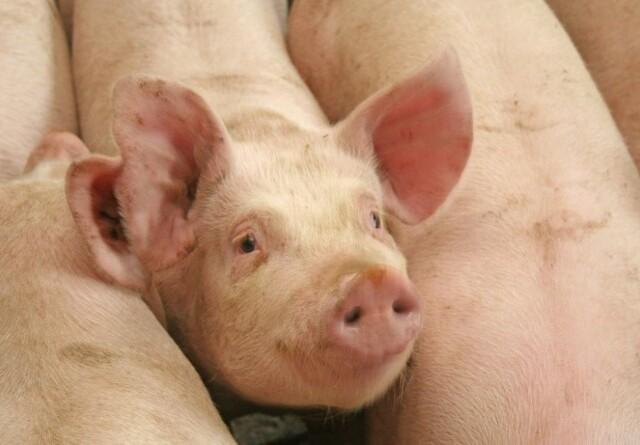 Prisen på svin er uændret