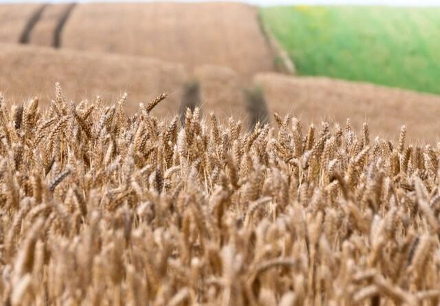 Jyske Markets: Høj aktivitet i hvedeeksportmarkedet