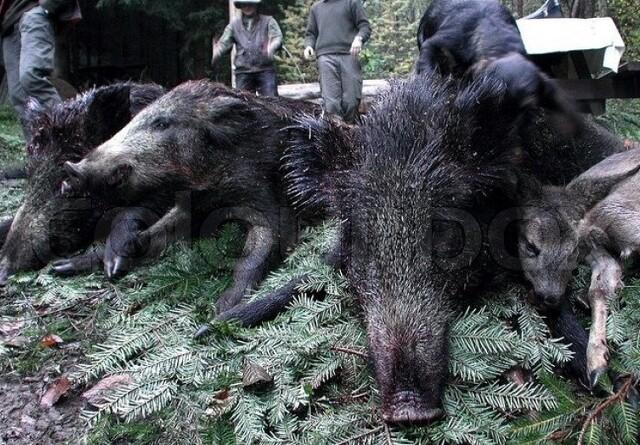 Undgå at tage svinepest med hjem fra jagtrejsen