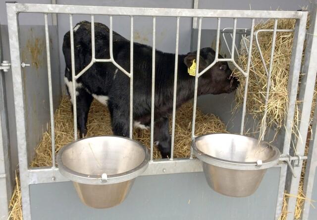 Kalve har brug for ekstra mælk i kulden