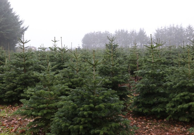 Åbent Landbrug pynter op med juletræer
