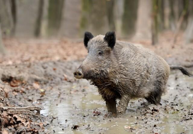 Schweiz i forhøjet beredskab mod svinepest