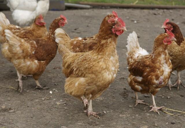Nye EU-regler for økologisk fjerkræproduktion