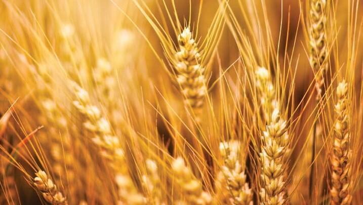 Korn beskåret til forside boks