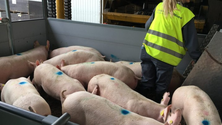 hr-pigs-1024x768