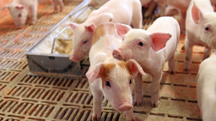 Kan simpelt fodertilskud stoppe MRSA?