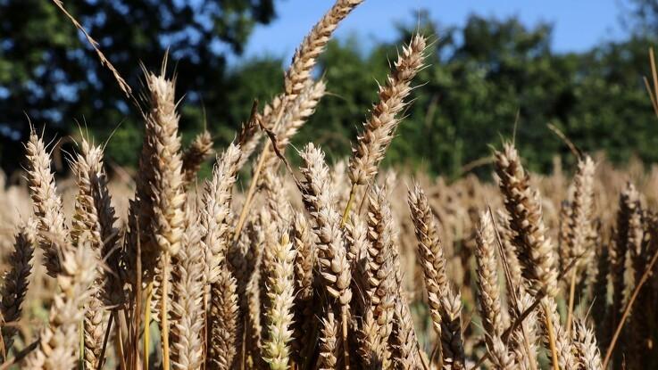 Det økologiske afgrødevalg i 2020