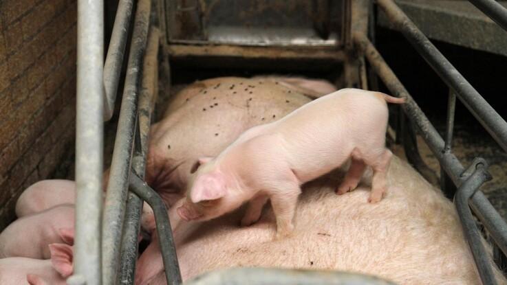 Har du mælkeanlæg, skal du lægge to ekstra grise til soen