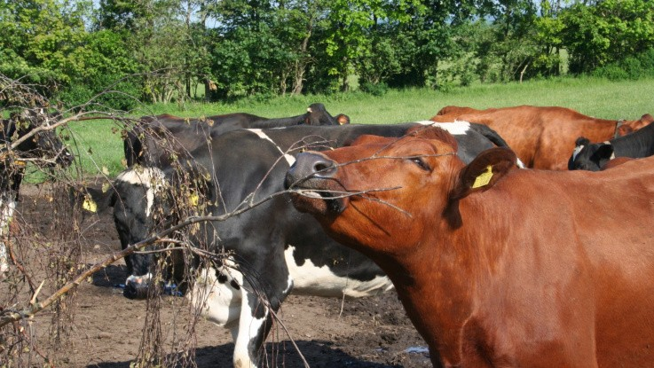Hårdt Brexit kan ramme oksekød