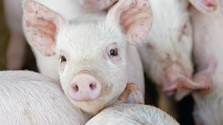 Flere svinebesætninger skal registreres