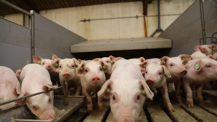 Stigende svinepriser forbedrer bytteforhold