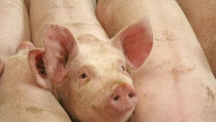 Domsudskrift: Tidligere formand smuglede svinesæd