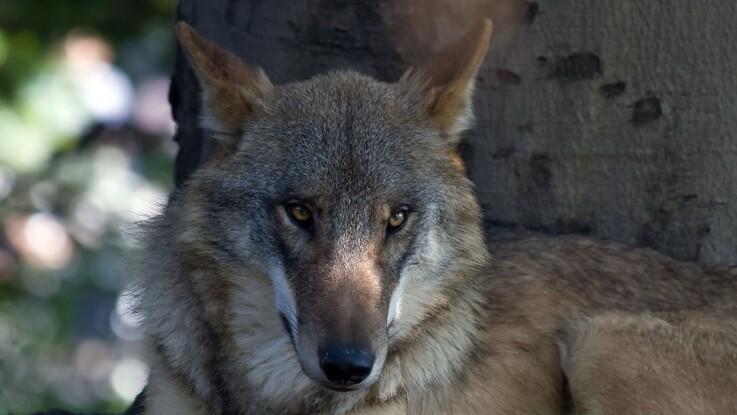 Ankesag om ulvedrab skal i retten i dag
