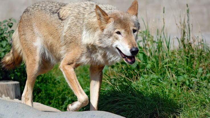 Skudt ulv var en rigtig ulv