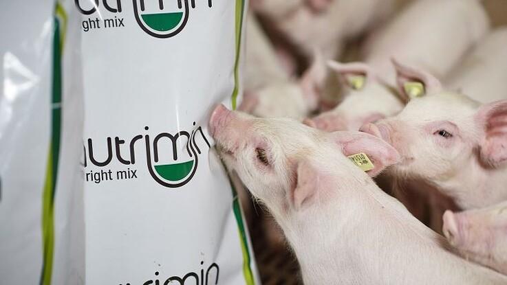 4,42 kr. pr. gris i ekstra fortjeneste på blot 14 dage